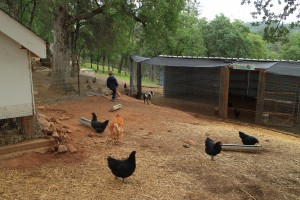Free-range chickens have a big coop and dirt area, but also have the run of the place